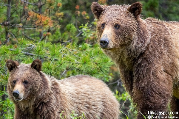 2019 Back Country Grizzly Bear Family