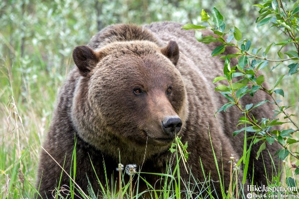 2019 Mother Grizzly Bear