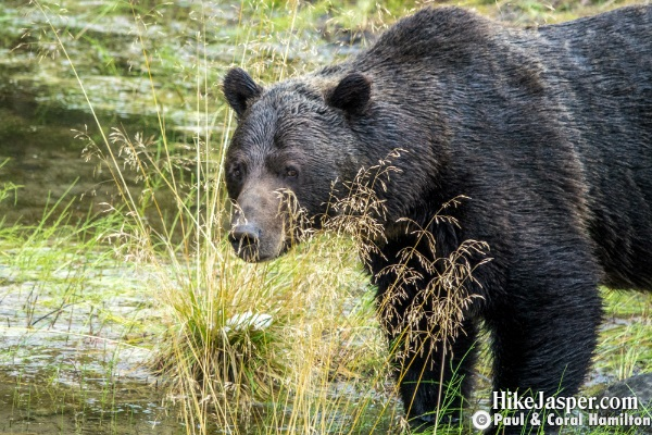 Male Grizzly Uniquely Tall and Dark, Seen later in September, 2018 Jasper, Alberta - Hiking