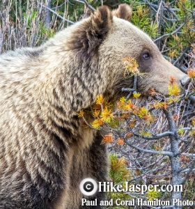 Bear & Wildlife incidents in Jasper