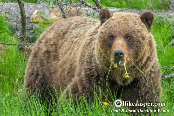 Grizzly Mother of 2 Cubs in Jasper Alberta June 2018