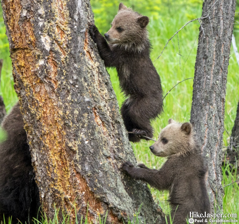 Grizzly Bear Cubs of the Year in Jasper, Alberta - Hiking  2019