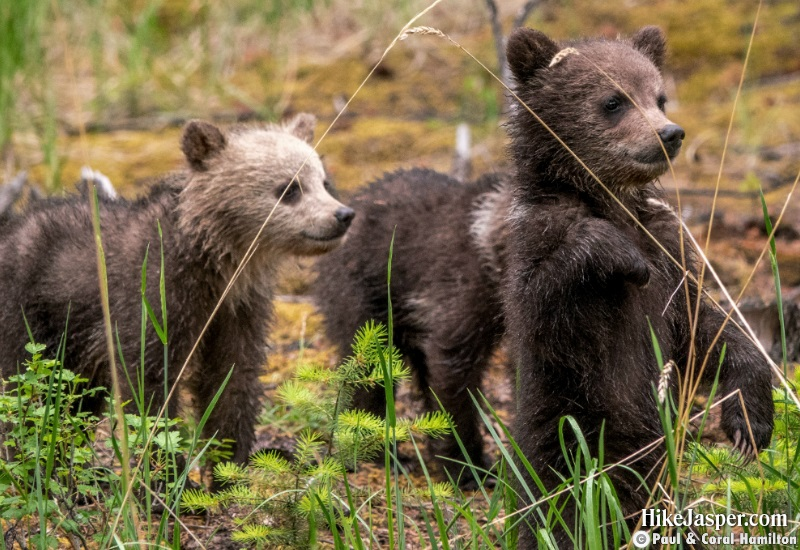 Grizzly Bear Cubs of the Year 2 in Jasper, Alberta - Hiking  2019