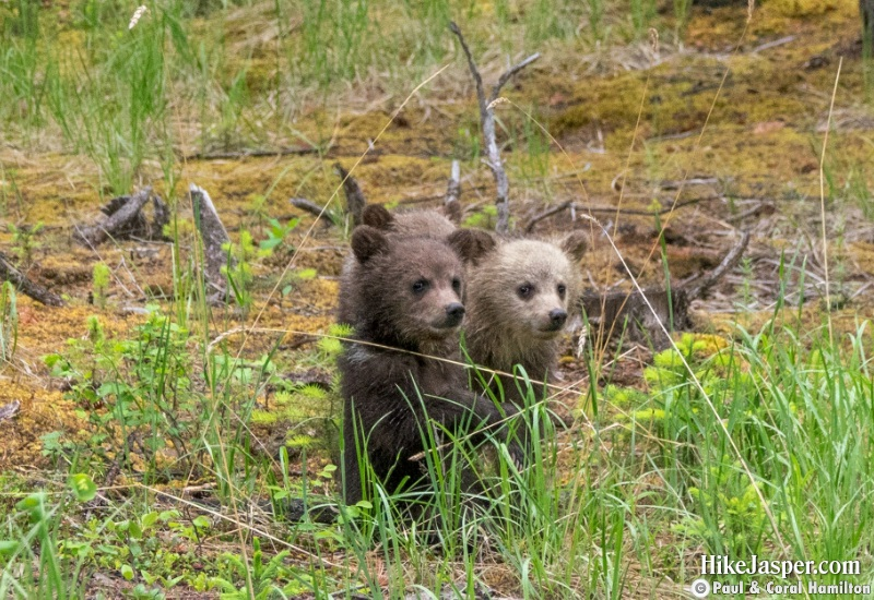 Grizzly Bear Cubs of the Year 3 in Jasper, Alberta - Hiking  2019