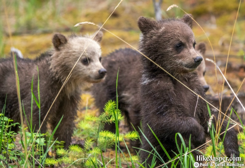 Grizzly Cubs of the Year 4 in Jasper, Alberta - Hiking  2019