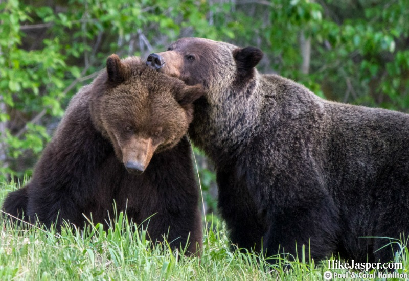Grizzly Mating Pair 2 in Jasper, Alberta - Hiking  2019