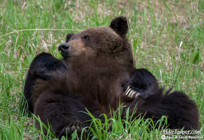 Grizzly Mating Pair 3 in Jasper, Alberta - Hiking  2019