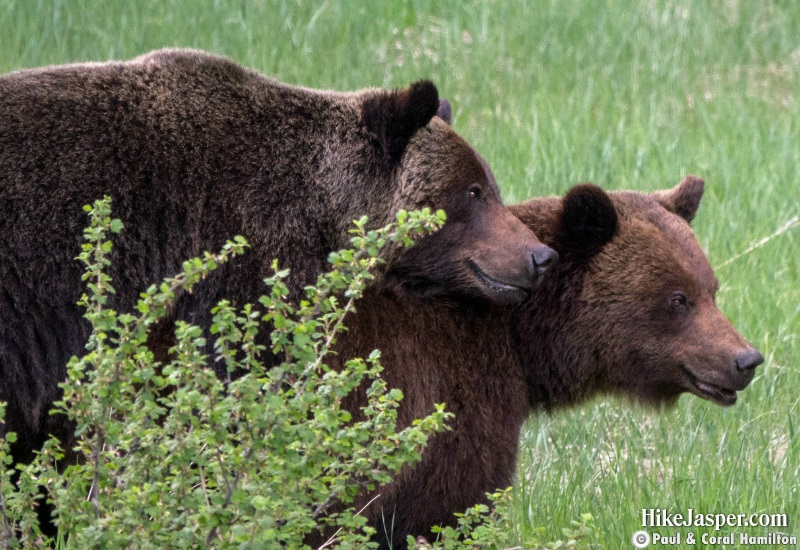 Grizzly Mating Pair 5 in Jasper, Alberta - Hiking  2019