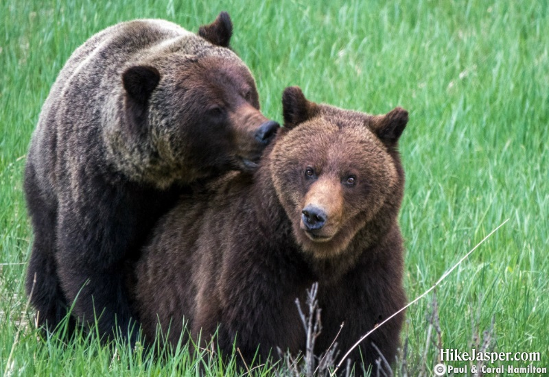 Grizzly Mating Pair 6 in Jasper, Alberta - Hiking  2019