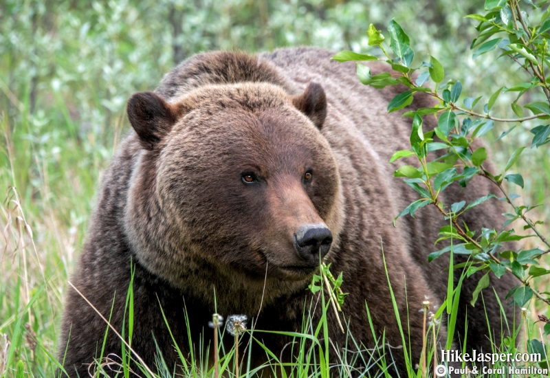 Mother of 1 Grizzly cub in Jasper, Alberta - Hiking  2019