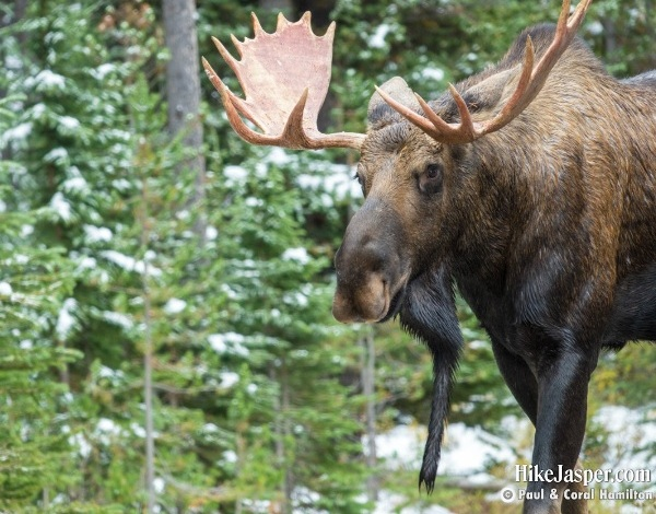 Bull, Cow and Calf Moose Pictures