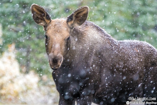 Moose Calf in Jasper, Alberta - Hike Jasper