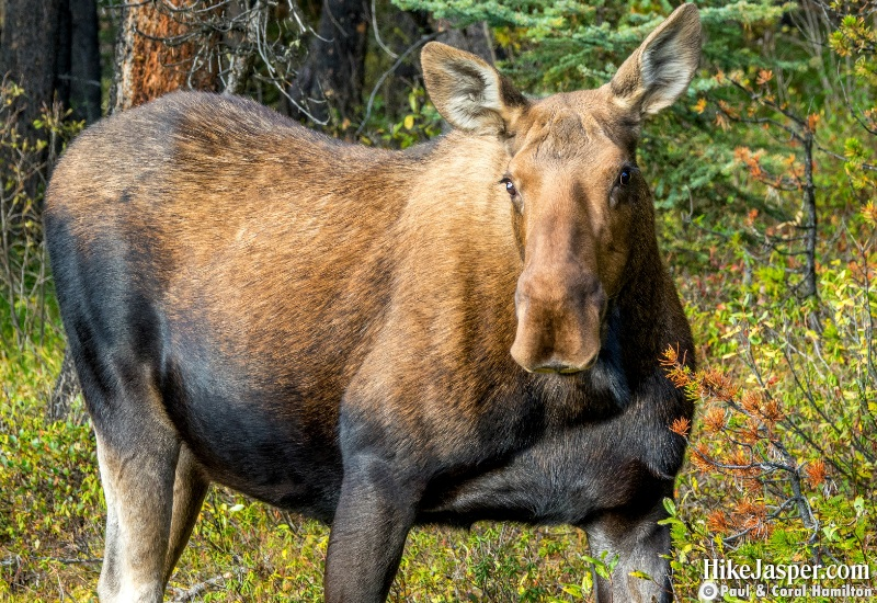 Moose Cow in Jasper National Park Hike 2019, Alberta - Hike Jasper