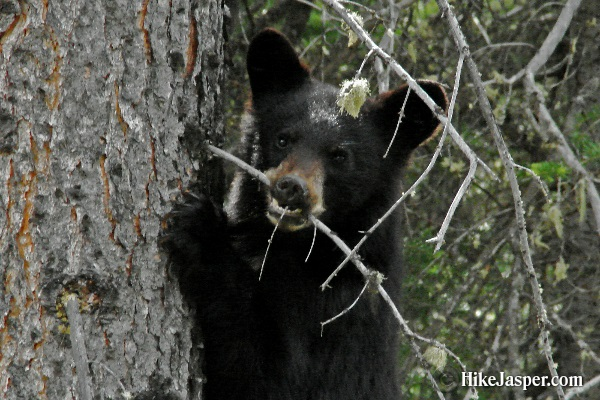 Black Bear Cub - Hiking Jasper