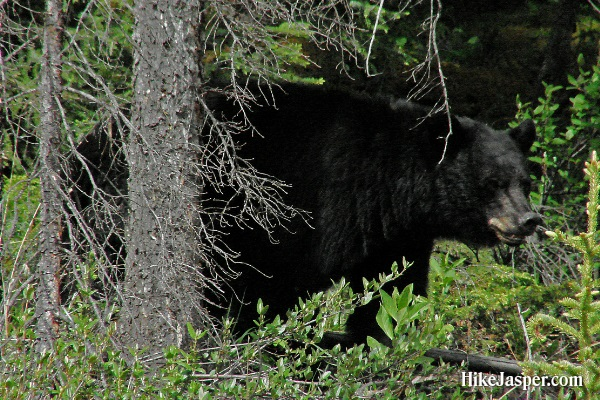Largest Male Black Bear - Hike Jasper