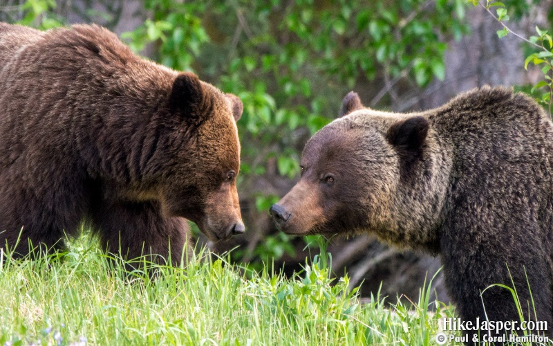 Grizzly Mating Pair in Jasper, Alberta - Hiking  2019