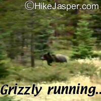 Grizzly Bear - Hike Jasper
