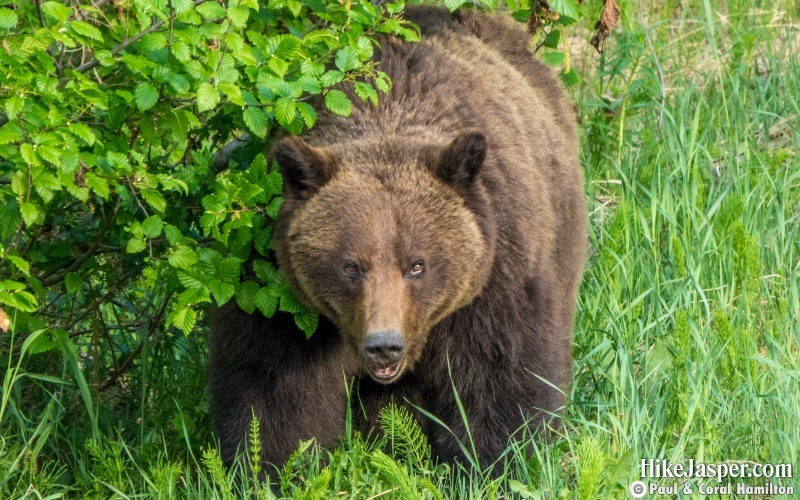 When Bears Attack they are often Silent - Hike Jasper