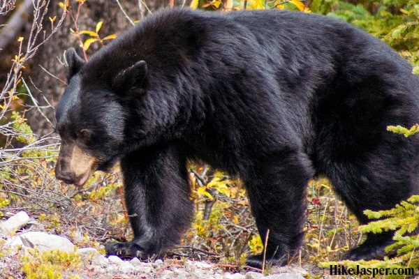 Hike Jasper Black Bear in 2017