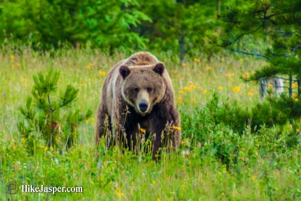 Jasper Alberta Hike Jasper Grizzly Encounter 2017