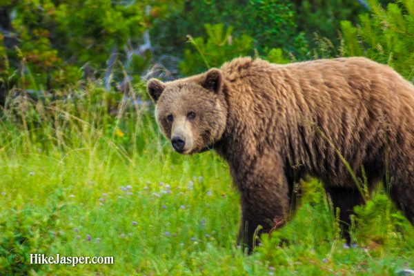 Jasper Alberta - Hike Jasper 2nd Grizzly Encounter in  2017