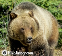 Grizzly Bear encountered in May on hikes in 2018
