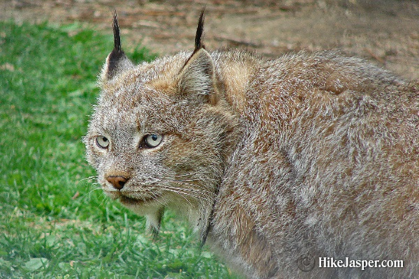 June 2017 Lynx Sighting - Hike Jasper