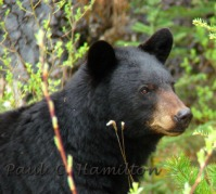Bear encounters on hiking trails.